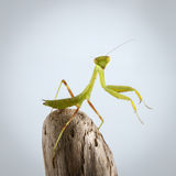 Πράσινη επίκληση Mantis κινηματογραφήσεων σε πρώτο πλάνο στο ραβδί Στοκ Φωτογραφία