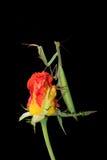 Πράσινη επίκληση Mantis σε ένα μπουμπούκι τριαντάφυλλου Στοκ εικόνα με δικαίωμα ελεύθερης χρήσης