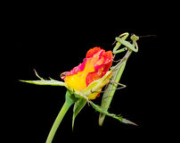 Πράσινη επίκληση Mantis σε ένα μπουμπούκι τριαντάφυλλου Στοκ Εικόνα
