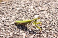 Πράσινη επίκληση, Mantis Religiosa Στοκ Εικόνα