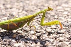 Πράσινη επίκληση, Mantis Religiosa Στοκ Φωτογραφίες