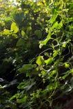 Πράσινη ζούγκλα, εγκαταστάσεις ορειβατών αναμμένες πίσω Στοκ Εικόνες
