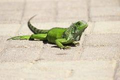 Πράσινη ζωική φύση σύστασης ποδιών χεριών ματιών ουρών σαυρών ερπετών Στοκ φωτογραφία με δικαίωμα ελεύθερης χρήσης