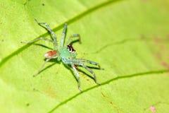 Πράσινη διαφανής αράχνη άλματος Στοκ Εικόνες