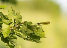 Πράσινη λιβελλούλη με το θήραμα στοκ εικόνα
