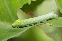 Πράσινη κάμπια acteus Pergesa pergesa hawkmoth Στοκ φωτογραφία με δικαίωμα ελεύθερης χρήσης