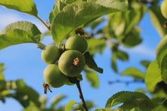 Πράσινη και κόκκινη ένωση της Apple στο δέντρο Στοκ φωτογραφία με δικαίωμα ελεύθερης χρήσης
