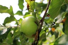 Πράσινη και κόκκινη ένωση της Apple στο δέντρο Στοκ εικόνες με δικαίωμα ελεύθερης χρήσης