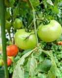 Πράσινη και κόκκινη ντομάτα ή esculentum μύλος Lycopersicon στο οργανικό αγρόκτημα στοκ εικόνες με δικαίωμα ελεύθερης χρήσης