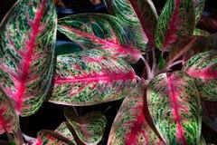 Πράσινη και κόκκινη φύση φύλλων κινηματογραφήσεων σε πρώτο πλάνο για το υπόβαθρο Δημιουργικός φιαγμένος από πράσινα και κόκκινα φ Στοκ εικόνα με δικαίωμα ελεύθερης χρήσης