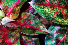 Πράσινη και κόκκινη φύση φύλλων κινηματογραφήσεων σε πρώτο πλάνο για το υπόβαθρο Δημιουργικός φιαγμένος από πράσινα και κόκκινα φ Στοκ εικόνες με δικαίωμα ελεύθερης χρήσης