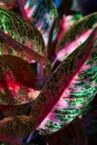 Πράσινη και κόκκινη φύση φύλλων κινηματογραφήσεων σε πρώτο πλάνο για το υπόβαθρο Δημιουργικός φιαγμένος από πράσινα και κόκκινα φ Στοκ Φωτογραφία