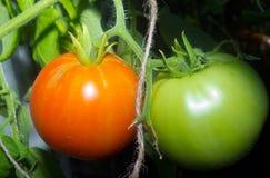 Πράσινη και πορτοκαλιά ντομάτα Στοκ Εικόνα
