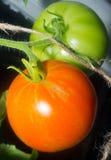 Πράσινη και πορτοκαλιά ντομάτα Στοκ Εικόνες