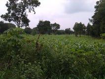 Πράσινη καλλιέργεια αραβόσιτου στη Σρι Λάνκα στοκ εικόνες