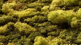 Πράσινη κινηματογράφηση σε πρώτο πλάνο σύστασης βρύου Καλοκαίρι Forrest στοκ εικόνες