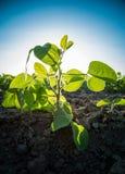 Πράσινη κινηματογράφηση σε πρώτο πλάνο εγκαταστάσεων σόγιας που βλασταίνεται, μικτοί οργανικός και ΓΤΟ στοκ φωτογραφία