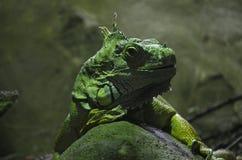 Πράσινη κινηματογράφηση σε πρώτο πλάνο iguana Στοκ Φωτογραφία