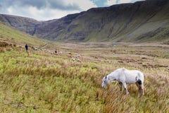 Πράσινη κοιλάδα στη ιρλανδική αγελάδα στοκ φωτογραφία