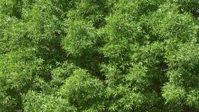 Πράσινη κορώνα ιτιών υπόβαθρο του νέου φυλλώματος απόθεμα βίντεο