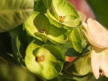 Πράσινη κορώνα υποβάθρου των λουλουδιών αγκαθιών στοκ φωτογραφία με δικαίωμα ελεύθερης χρήσης