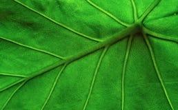 πράσινη μακροεντολή φύλλων Στοκ Φωτογραφίες