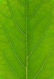 Πράσινη μακροεντολή φύλλων Στοκ Εικόνες