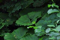 Πράσινη μεγάλη κούπα στη χλόη, lappa Arctium Στοκ Εικόνες