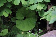 Πράσινη μεγάλη κούπα στη χλόη, lappa Arctium Στοκ Εικόνα