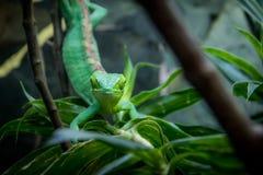 Πράσινη μετωπική άποψη σαυρών - πράσινη σαύρα σχετικά με ένα κλουβί - gutturosus του Berthold ` s Μπους Anole Polychrus Στοκ Φωτογραφία