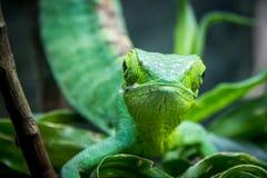 Πράσινη μετωπική άποψη σαυρών - πράσινη σαύρα σχετικά με ένα κλουβί - gutturosus του Berthold ` s Μπους Anole Polychrus Στοκ φωτογραφία με δικαίωμα ελεύθερης χρήσης
