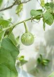 Πράσινη μελιτζάνα Στοκ φωτογραφία με δικαίωμα ελεύθερης χρήσης
