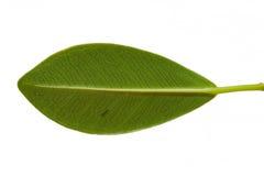 Πράσινη μορφή φύλλων Στοκ φωτογραφία με δικαίωμα ελεύθερης χρήσης