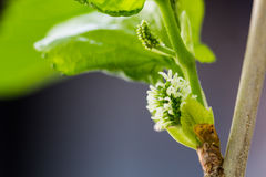 Πράσινη μουριά στοκ φωτογραφίες