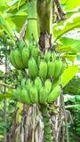 Πράσινη μπανάνα Στοκ Φωτογραφίες