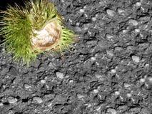 Πράσινη μπούκλα κάστανων Στοκ Εικόνα