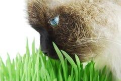 πράσινη μυρωδιά χλόης γατών Στοκ φωτογραφίες με δικαίωμα ελεύθερης χρήσης