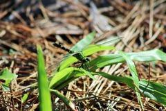 Πράσινη μύγα δράκων στοκ φωτογραφίες με δικαίωμα ελεύθερης χρήσης