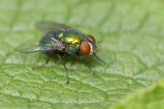 Πράσινη μύγα μπουκαλιών Στοκ φωτογραφία με δικαίωμα ελεύθερης χρήσης