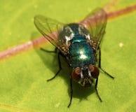 Πράσινη μύγα σε ένα φύλλο Μακροεντολή Στοκ φωτογραφία με δικαίωμα ελεύθερης χρήσης