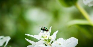 Πράσινη μύγα στο άσπρο λουλούδι Στοκ Εικόνα