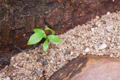 Πράσινη νέα ανάπτυξη εγκαταστάσεων μέσω των μικρών βράχων με πλαισιωμένος από την καφετιά πέτρα Στοκ εικόνες με δικαίωμα ελεύθερης χρήσης