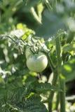 Πράσινη ντομάτα στην άμπελο Στοκ εικόνα με δικαίωμα ελεύθερης χρήσης