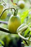 πράσινη ντομάτα Στοκ εικόνα με δικαίωμα ελεύθερης χρήσης