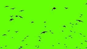 Πράσινη οθόνη κοπαδιών κορακιών απόθεμα βίντεο