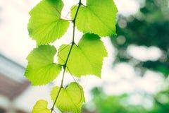 Πράσινη οικολογία φύσης κήπων αμπέλων σταφυλιών Στοκ φωτογραφίες με δικαίωμα ελεύθερης χρήσης