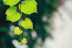 Πράσινη οικολογία φύσης κήπων αμπέλων σταφυλιών Στοκ Εικόνα