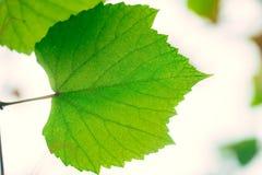 Πράσινη οικολογία φύσης κήπων αμπέλων σταφυλιών Στοκ Εικόνες