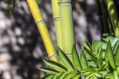 Πράσινη ομάδα 2 καλάμων μπαμπού Στοκ Εικόνες