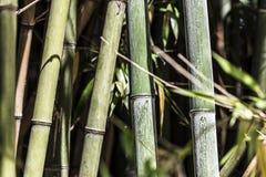 Πράσινη ομάδα 4 καλάμων μπαμπού Στοκ φωτογραφία με δικαίωμα ελεύθερης χρήσης